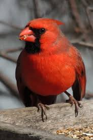 1217 best cardinals images on pinterest beautiful birds