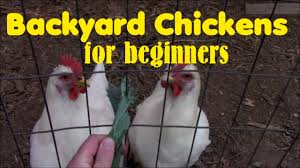 backyard chickens for beginners youtube
