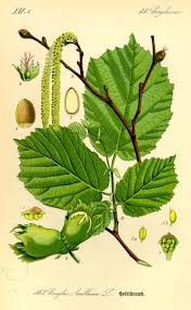 plants native to england temperate climate permaculture permaculture plants hazelnuts