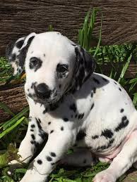 pampard dalmatians