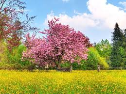 forest spring colors japanese cherry blossom tree fields grass