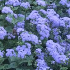 blue and purple flowers floss flower eustice friends school plant sale