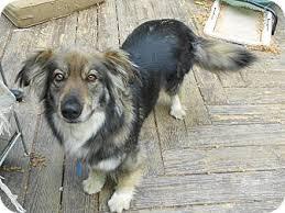 australian shepherd or german shepherd abigail adopted dog raleigh nc australian shepherd german