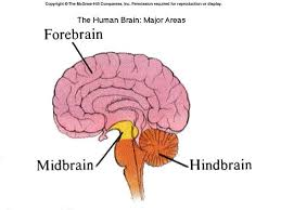 Which Part Of The Brain Consists Of Two Hemispheres Different Regions Of The Vertebrate Brain Have Different Functions