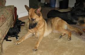 belgian sheepdog rescue illinois small dog with gsd german shepherd dog forums