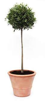 olive tree in terra cotta pot now you can grow olives in your own