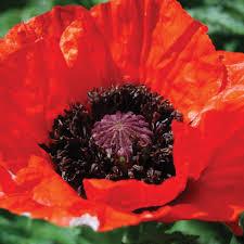 perennial poppy at thompson morgan