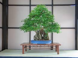bonsai flickr