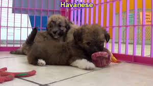 Albq Craigslist by Havanese Puppies Dogs For Sale In Albuquerque New Mexico Nm