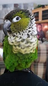 parrots in paradise kealakekua hawaii exotic bird 7 best bords images on pinterest parakeets parrots and beautiful