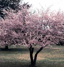 newport plum trees