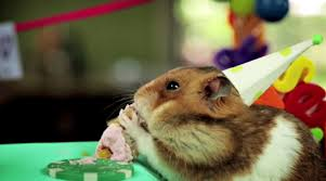 video tiny hamster is back eating tiny birthday cake la times