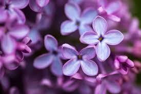 lilac flowers lilac flower meaning flower meaning