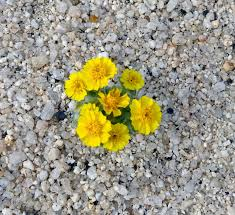 desert flowers in anza borrego shibumo