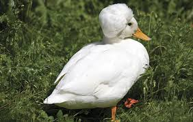 best duck breeds to keep in the garden the field
