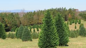 south carolina christmas tree farms christmas lights decoration