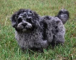 affenpinscher dogs for sale pekepoo puppies breeder sales peekapoo puppies pekepoo park