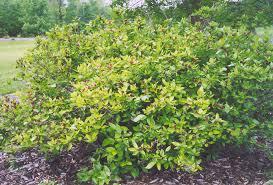 common sweetshrub calycanthus floridus in naperville