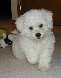 bichon frise dog pictures i dog sat a poochon and now have fallen in love with them they
