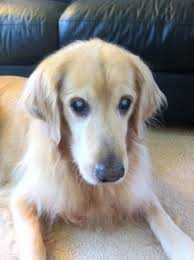 Blindness After Cataract Surgery What Does A Blind Dog U0027s Eyes Look Like Updated 2017