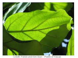 Fiddle Leaf Fig Tree Care by Fiddle Leaf Fig Ficus Lyrata Indoor Care And Growing Information