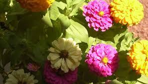 how to get seeds from a zinnia flower garden guides