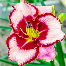 reblooming daylilies lies and lipstick reblooming daylily brecks