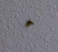 Small Ants With Wings In Bathroom Drain Flies Stoppests Ipm In Multifamily Housing Blog