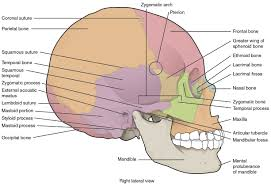 Nose Anatomy And Physiology Anatomy U0026amp Physiology The Skull Voer