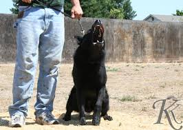 belgian shepherd groenendael for sale uk german shepherd puppies for sale personal protection dogs for