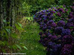 purple hydrangea purple wedding hydrangea oregon coastal flowers