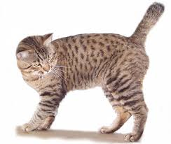 most playful cat breeds u2013 purrfect cat breeds