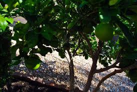 harvest meyer lemon tree in december or when fruit is sweet las
