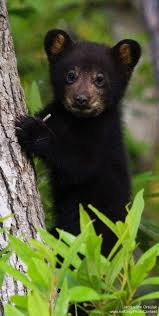 best 25 black bear ideas on pinterest cute bears bears and black bear by jacqueline orsulak at the alligator river wildlife refuge in north carolina