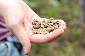 Luwak Coffee kopi luwak direct kopi luwak coffee 2 4 oz 70 grams