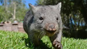australian animals the wombat