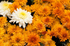 a close up of fall coloured mum flowers mums stock photo picture