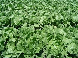 Garden Plants Names And Pictures by Lettuce Wikipedia