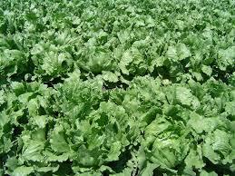 lettuce wikipedia