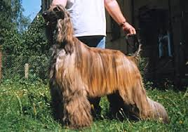 afghan hound breeders europe afghan brindle beautiful brindle dogs pinterest dog