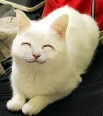 White Cat Meme - cat thanks