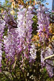 Trellis Seattle Detail Purple Heather In Bloom Spring In Seattle Stock Photo