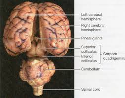 cat brain anatomy images learn human anatomy image
