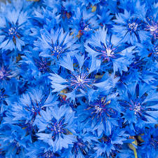 blue flowers what blue flowers floraqueen