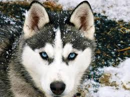 imagenes de fondo de pantalla lobos lobo siberiano fondos de pantalla gratis