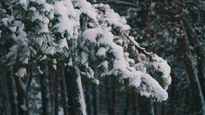 winter pine forest with snowy trees snow falling and