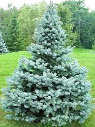 blue spruce trees evergreen trees blue spruce trees calgary weeping spruce alberta