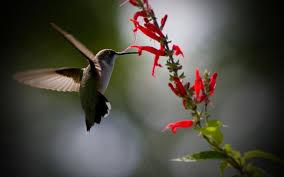 stunning hummingbird wallpaper 19957 1920x1200 px hdwallsource com