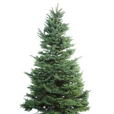 shop 9 10 ft fresh noble fir tree at lowes