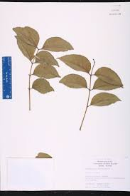 Canopy Synonyms by Zanthoxylum Clava Herculis Species Page Isb Atlas Of Florida